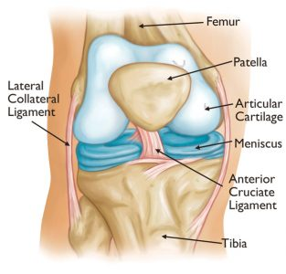 the-knee-joint